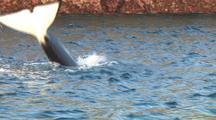 Transient Killer Whale Tail Slap