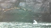 Killer Whale And Steller Sealions