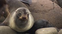 Fur Seal On Pribilof Islands