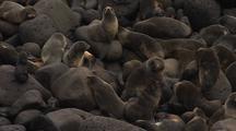 Fur Seal Pups On Pribilofs
