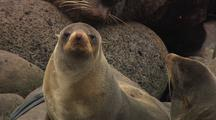 Fur Seal On Pribilofs