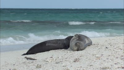 Monk Seal  With Pup Shorebird