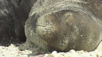 Monk Seal  With Pup