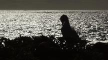 Booby With Ocean Silhouette