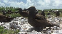 Sooty Tern Shading Chick