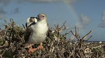 Booby In Tree, Rainbow Behind