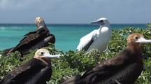 Frigates And Boobies Near Seashore