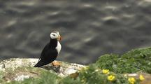 Reveal Horned Puffin Bering Sea