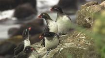 Parakeet Aucklet Bering Sea Rookery
