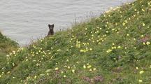 Arctic Fox Barking In Wildflowers Aca