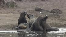 Fur Seal Pups Play