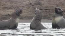 Fur Seal Pups Play