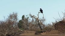 Elephant Seals And Raven