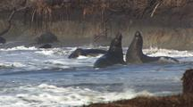 Elephant Seals Fight In Surf