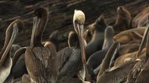 Pelicans Preening, Elephant Seals Behind