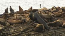 Seals And Sea Lions On Island