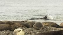 Elephant Seal Bulls Battle For Control Of Sleepy Harem