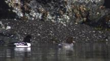 Boat Mounted Cineflex Tight Tracks Male And Female Barrow's Goldeneye Swim Near Seaweed Encrusted Intertidal Rocks