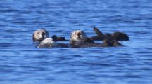 Cineflex Slow Motion Tight On Raft Of Funny Looking Sea Otters Drifting On Gentle Ocean Swell