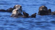 Cineflex Slow Motion Tight On Raft Of Sea Otters Drifting On Gentle Ocean Swell