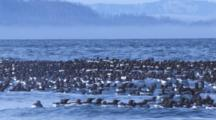 Dense Raft Of Common Murres Ride Ocean Swell In Front Of Fog Bank Along Coastal Mountains