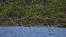 Harlequin Ducks Feed In Intertidal Zone Along Kelp And Seaweed Exposed Rock