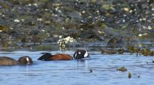 Close Up Of Harlequin Ducks Feeding Heads Underwater Shoveling Pulling In Intertidal Zone Along Kelp And Seaweed Exposed Rock