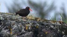 Tilt Up To Black Oystercatcher With Brilliant Red Beak Standing Watch On Coastal Rocks