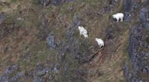 Mountain Goats Traverse High Mountain Pull To Wide Shot Of Cliffs And Mountain Realm