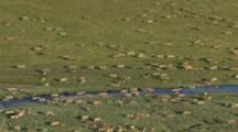 Caribou Herd Grazing And Migrating Along Arctic Tundra Riverbed, Medium Static Shot, Western Arctic Caribou Herd Npra National Petroleum Reserve Shot In Hd In Alaska Arctic