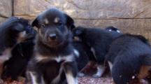 Very Close Up Eye Level Very Young Sled Dog Puppies Play In Pen.