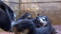 Very Close Up Eye Level Young Sled Dog Puppies And Mom In Pen.