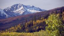 Close Up Autumn Fall Birch Tree Tilt Up Pan Left Reveal Snowy Lower Peak Mt. Mckinley, Denali