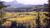 Autumn Yellow Birch Forest Zoom Out To Landscape Of Green And Gold With Mountains In Background In Denali National Park And Preserve