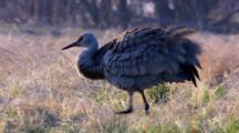 Close Up Lock Shot Sandhill Crane Walks Across Frame Fluffs Ruffles Feathers