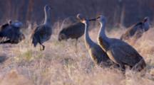 Close Up Lock Shot Sandhill Cranes Stand In Autumn Field Of Grass Sun Shines From Left Frame On Bird Breasts