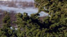 Close Up Spruce Tree Cones Reveal Medium Shot Songbird Singing Atop Tree