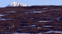 Scenic Lock Shot Caribou Rest And Graze Between Tundra Snow Patches With Snowy Mountain Peak Rising Above Tundra In Evening Light