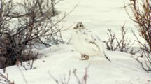 Slow Zoom To Close Up Female Hen Willow Ptarmigan Stands On One Foot In Snow Feather-Covered Foot Visible