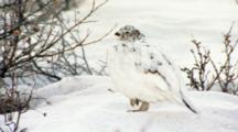 Very Close Up Lock Shot Female Hen Willow Ptarmigan Stands On One Foot In Snow Feather-Covered Foot Visible