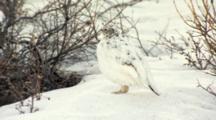 Close Up Lock Shot Female Hen Willow Ptarmigan Standing In Snow