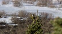 Medium Lock Shot Songbird Sits Atop Spruce Tree Snow In Background