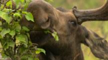 Very Close Up Beautiful Sleek Strong Velvet Antlered Bull Moose Browses Birch In Lush Green Alaska Bog