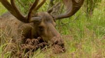 Very Close Up Beautiful Sleek Strong Velvet Antlered Bull Moose Browses In Lush Green Alaska Bog Turns Full Side View Walks Away