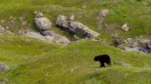 Cineflex Aerial Of Black Bear Walking In Southcenteral Alaska
