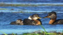 Grebes Feeding Chicks