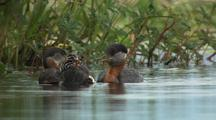Grebes Chicks Riding On Parent's Back