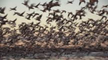 Snow Geese Taking Off Thousands At Sunrise