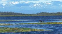 Grebe And Chicks On Lake