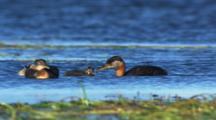 Grebe And Chicks, Babies On Lake